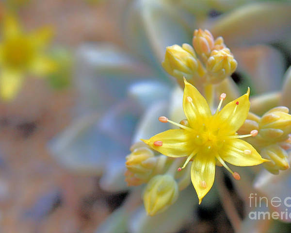 Yellow Flower Poster featuring the photograph Starburst by Kelly Holm
