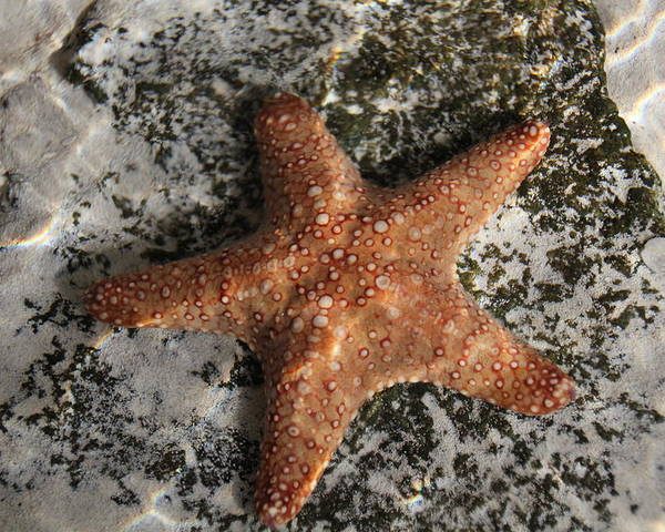 Florida Poster featuring the photograph Starfish by Becky Canterbury