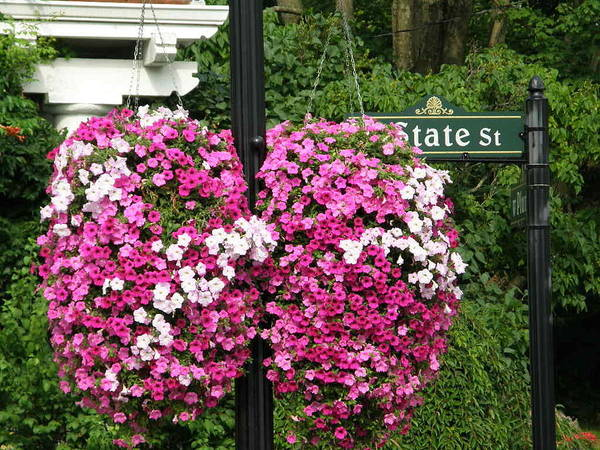 Petunias.spring Street Poster featuring the photograph State Street by Caryl J Bohn