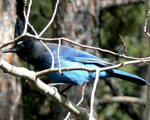Colorado Poster featuring the photograph Steller's Jay - Peaking Through Branches by Marilyn Burton