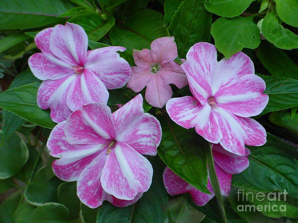 Flower Poster featuring the photograph Striped Flower by Nancie Johnson