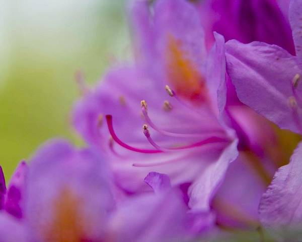 Purple Flowers Poster featuring the photograph Study In Purples by Veronica Vandenburg