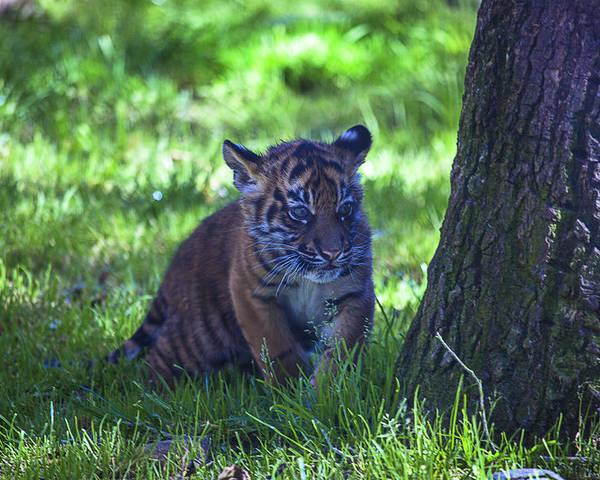Sumatran Poster featuring the photograph Sumatran Tiger Cub by Garry Gay
