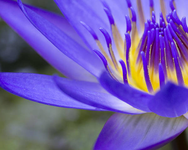 Blue Waterlily Poster featuring the photograph Summer Abundance by Priya Ghose