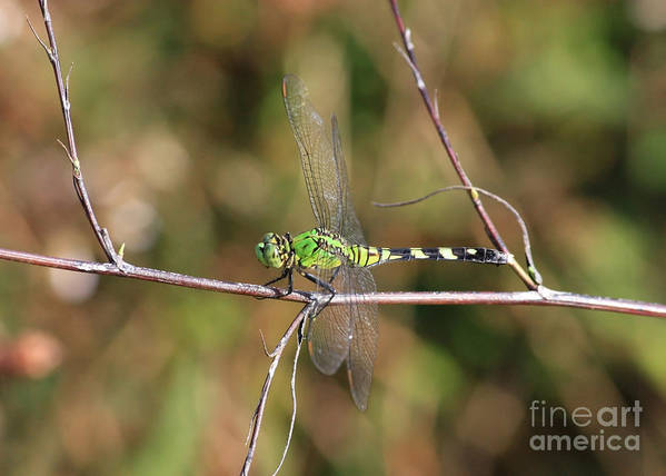 Green Dragonfly Poster featuring the photograph Summer Pondhawk Dragonfly by Carol Groenen