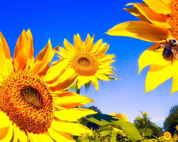Sunflower Poster featuring the photograph Summertime Sunflowers by Bob Orsillo