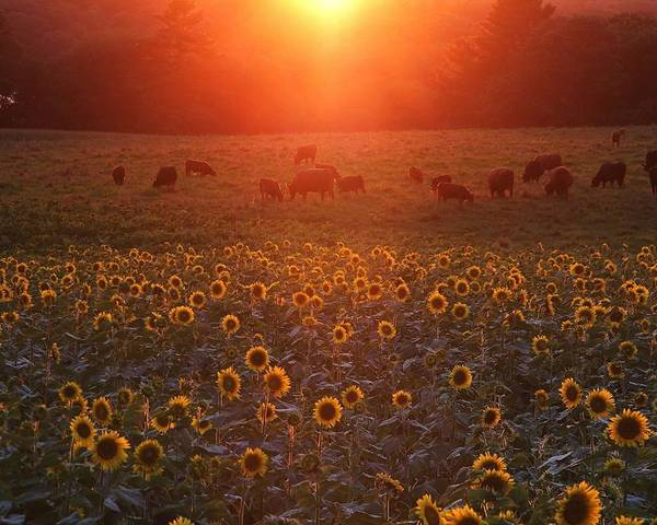 Sunflowers Poster featuring the photograph Sundown On Buttonwood Farm by Andrea Galiffi