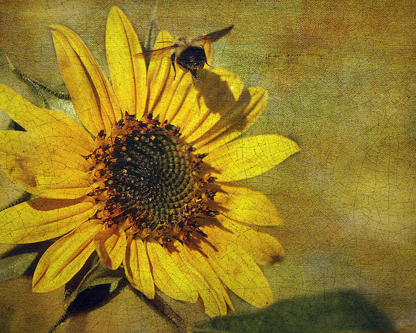Cindi Ressler Poster featuring the photograph Sunflower And Bumble Bee by Cindi Ressler