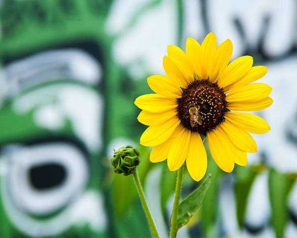Graffiti Poster featuring the photograph Sunflower And Graffiti by Mark Weaver