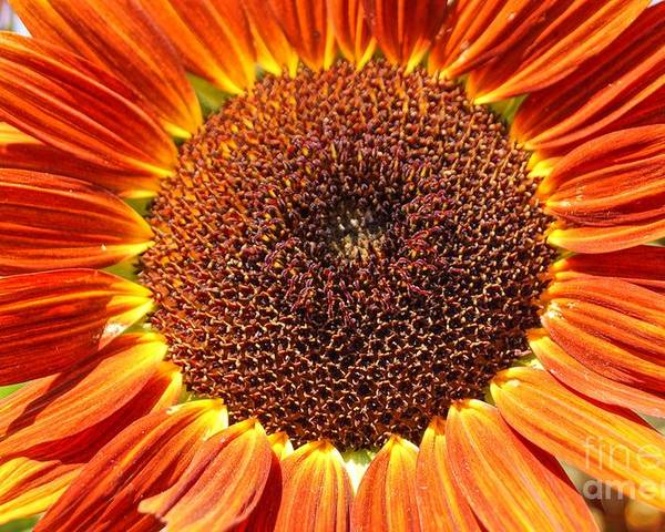 Agriculture Poster featuring the photograph Sunflower Burst by Kerri Mortenson
