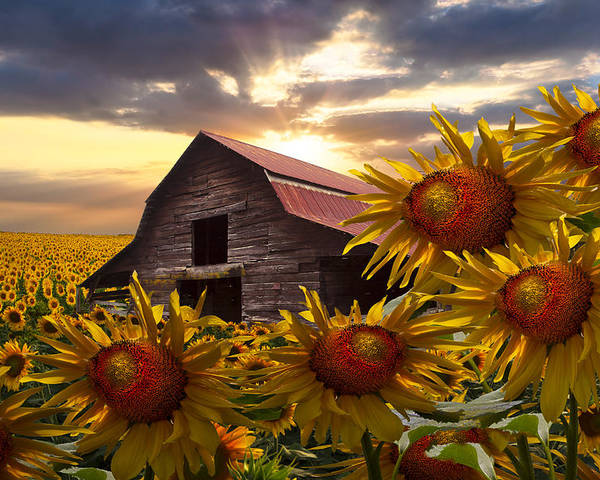 Barn Poster featuring the photograph Sunflower Dance by Debra and Dave Vanderlaan