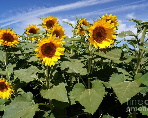 Agriculture Poster featuring the photograph Sunflower Field by Kerri Mortenson
