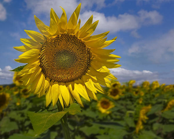 Petals Poster featuring the photograph Sunflower Field by Susan Candelario