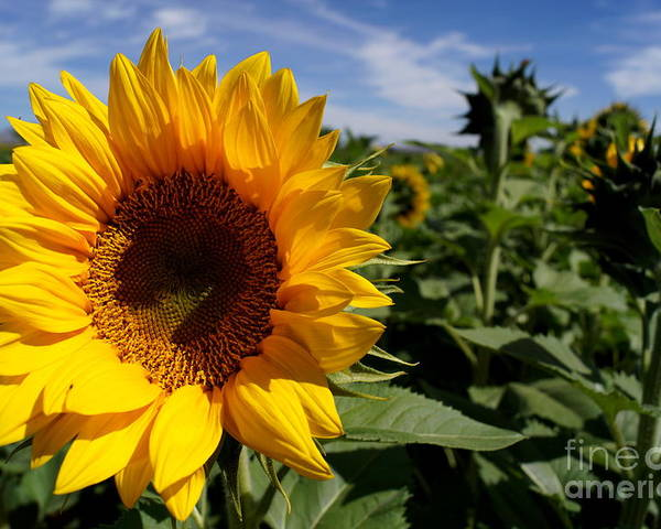 Agriculture Poster featuring the photograph Sunflower Glow by Kerri Mortenson