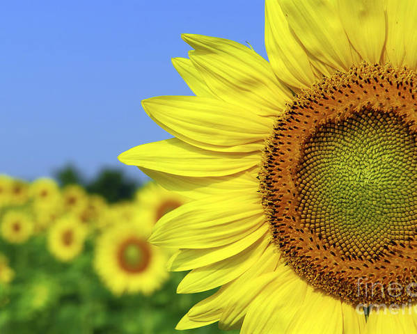 Sunflower Poster featuring the photograph Sunflower In Sunflower Field by Elena Elisseeva