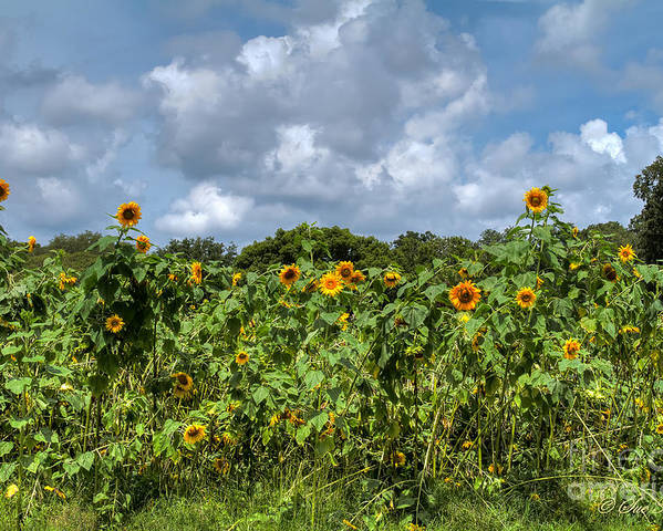 Foliage Poster featuring the photograph Sunflower Maze by Sue Karski