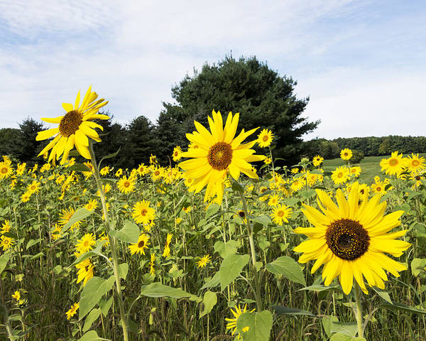 Sunflower Poster featuring the photograph Sunflower Patch by Ray Summers Photography