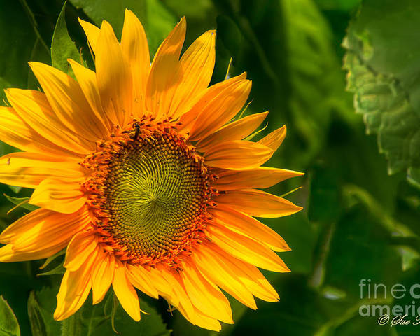 Foliage Poster featuring the photograph Sunflower Single by Sue Karski