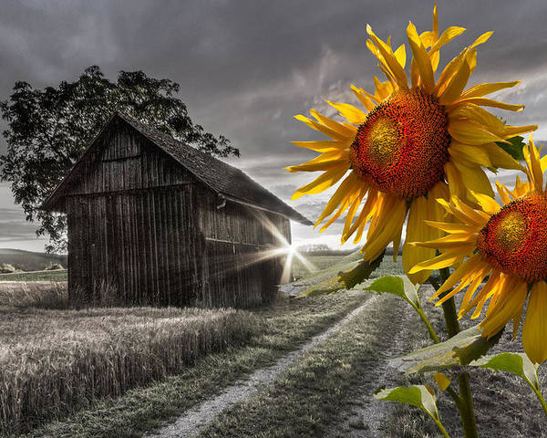 Appalachia Poster featuring the photograph Sunflower Watch by Debra and Dave Vanderlaan