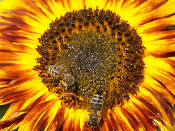 Sunflower Poster featuring the photograph Sunflower with bees by Matthias Hauser