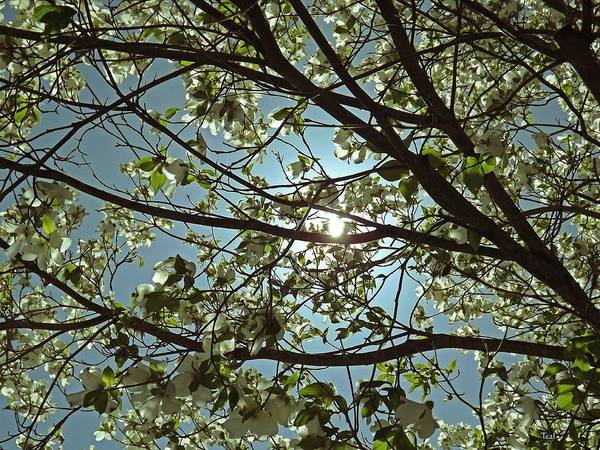 Dogwood Poster featuring the photograph Sunlight Through The Dogwood by Teal Blackwell