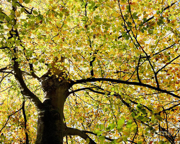 Botanical Poster featuring the photograph Sunlit Autumn Tree by Natalie Kinnear