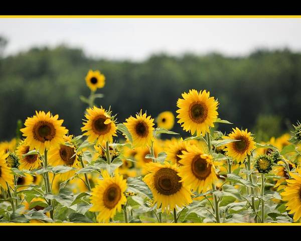 Sunflower Poster featuring the photograph Sunny Days 8466 by Bonfire Photography