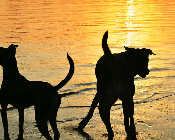 Dogs Poster featuring the photograph Sunset Dogs by Laura Fasulo