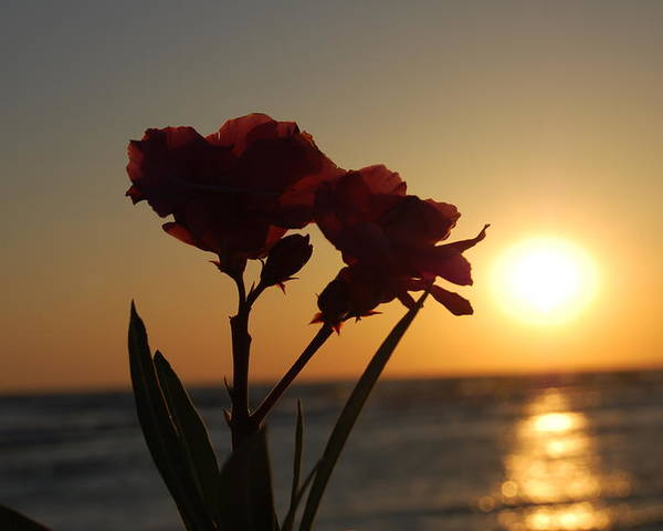 Sunset Poster featuring the photograph Sunset Flowers by May Photography