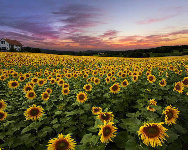 Appalachia Poster featuring the photograph Sunset Sunflowers by Debra and Dave Vanderlaan