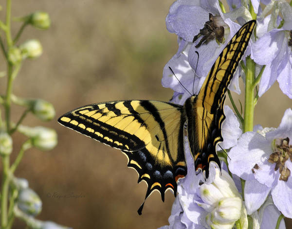 Beautiful Poster featuring the photograph Swallowtail Butterfly 1 by Roger Snyder