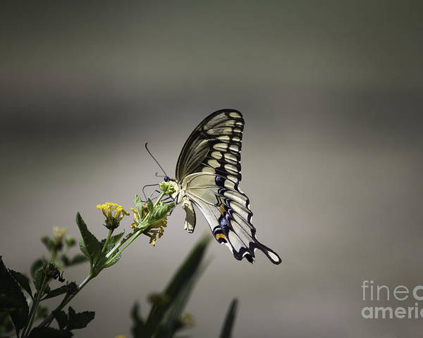 Butterfly Poster featuring the photograph Swallowtail Butterfly 2014 by Linda Ebarb