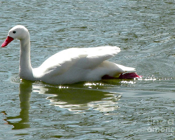 Bird Poster featuring the photograph Swan Reflection by Terry Weaver