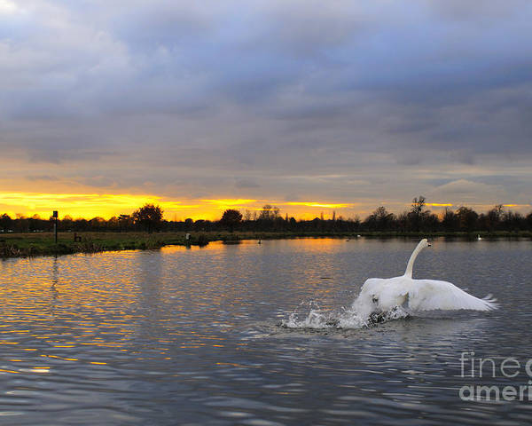 England Poster featuring the photograph Swan Taking Off by Lana Enderle