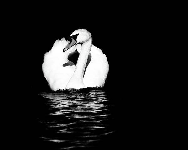 Swan Poster featuring the photograph Swan White On Black by Karol Livote