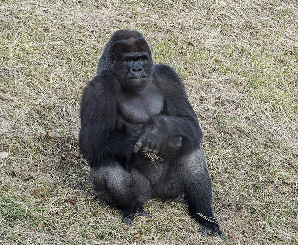 Gorilla Poster featuring the photograph Taking A Break by Ginger Harris