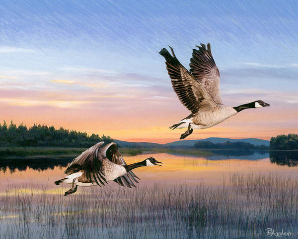 Geese Poster featuring the drawing Taking Flight by Brent Ander
