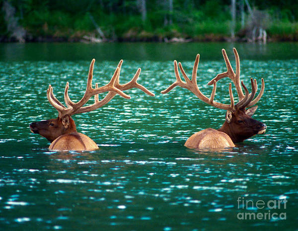 Bull Elk Poster featuring the photograph Talbot Lake Elk by Terry Elniski
