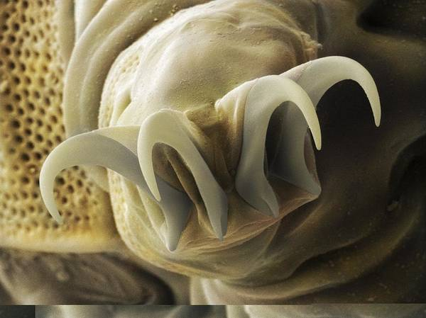 Aquatic Poster featuring the photograph Tardigrade Or Water Bear Foot Sem by Science Photo Library