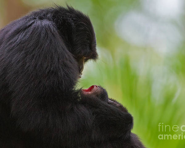 Gibbons Poster featuring the photograph Tender Moments by Ashley Vincent
