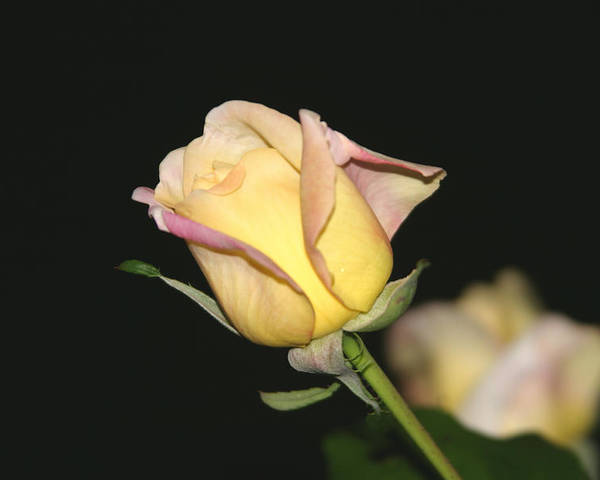 Yellow Rose Poster featuring the photograph Tender Rose by Dervent Wiltshire