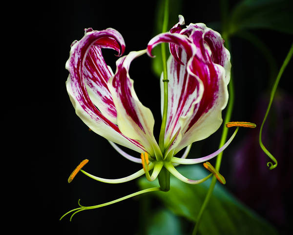 Stamen Poster featuring the photograph Tendrils Of My Mind by Christi Kraft