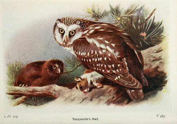 Tengmalm Poster featuring the painting Tengmalms Owl by Philip Ralley