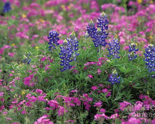 Closeup Poster featuring the photograph Texas Wildflowers 3 - Fs000930 by Daniel Dempster