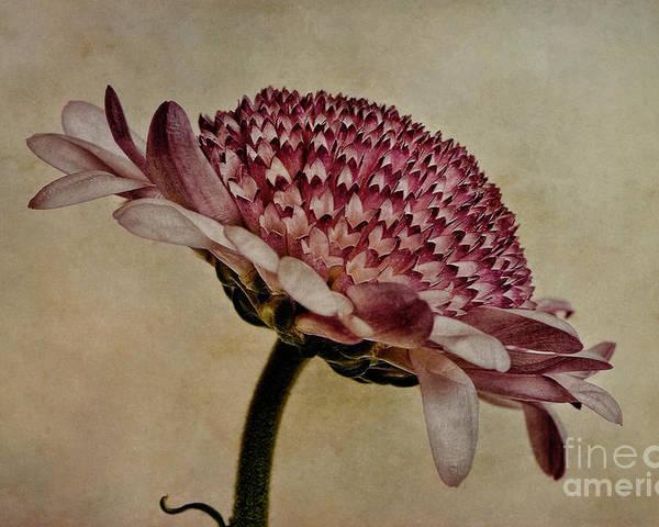 Chrysanthemum Poster featuring the photograph Textured Mum by John Edwards