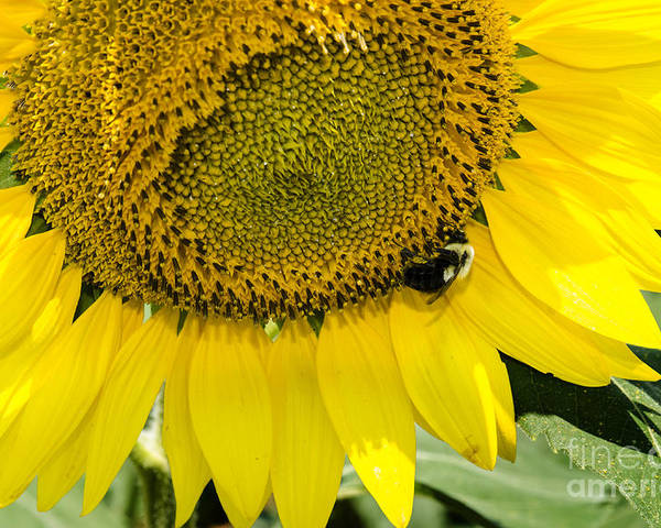 Sunflower Poster featuring the photograph Thank God For Sunflowers by Paul Mashburn