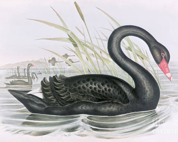 Black Swan Poster featuring the painting The Black Swan by John Gould