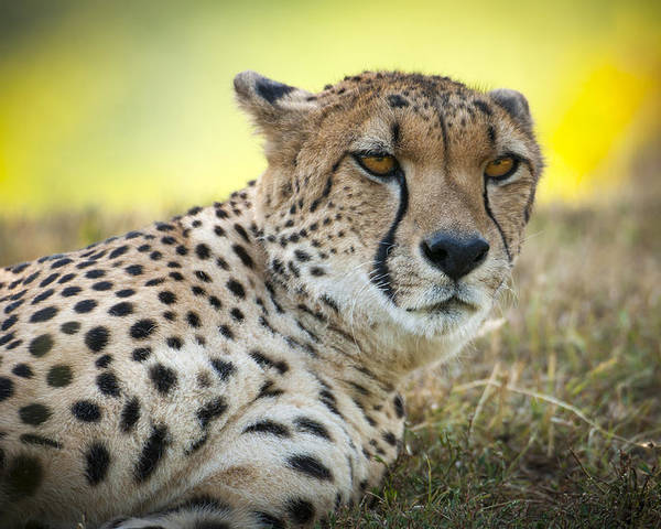Cheetah Poster featuring the photograph The Cheetah In Grass by Chad Davis