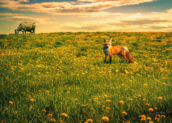 Cows Poster featuring the photograph The Fox And The Cow by Bob Orsillo