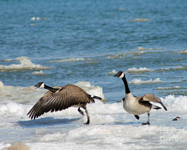 Goose Poster featuring the photograph The Getaway Or Silly Goose by Eric Curtin